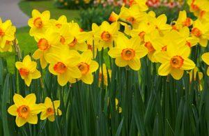 daffodils700